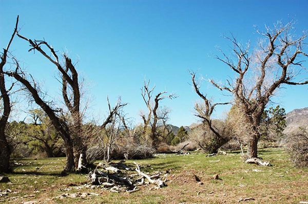 Dead riparian trees near Ash Creek, Utah (2008)