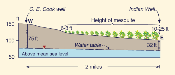 Relation between height of mesquite and depth to water table