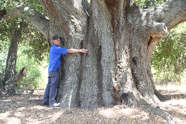 A very large specimen of coast live oak in the McCain ranch