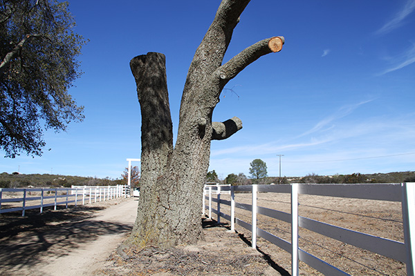 A dead coast live oak tree