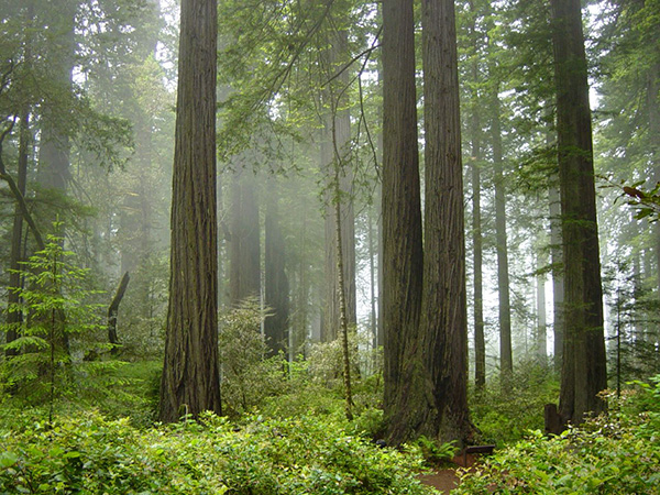 The California redwoods, showing the all-important fog