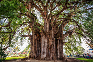 The widest tree in the world is at Santa Maria del Tule, Oaxaca, Mexico